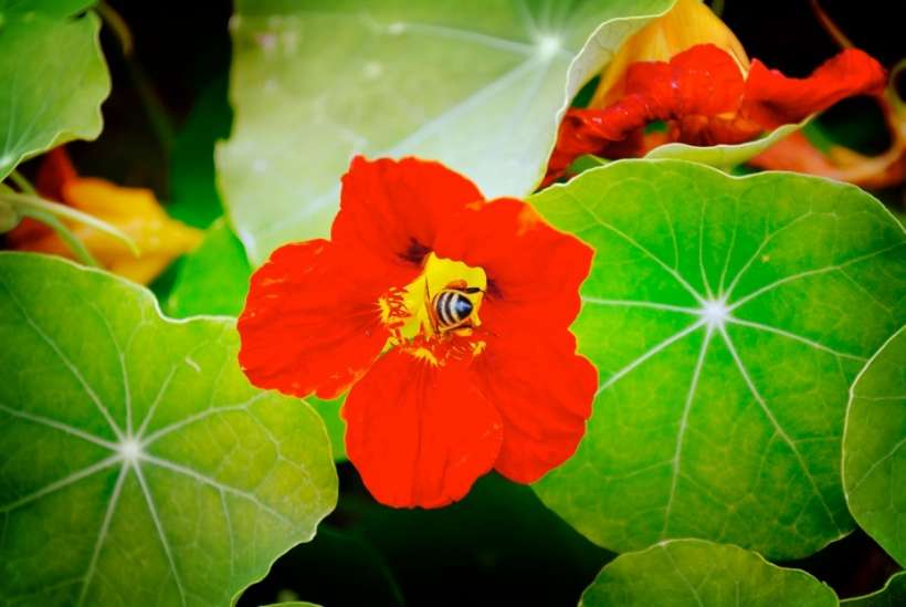 we love to see bees in the garden… nasturtiums are really beautiful edible flowers!