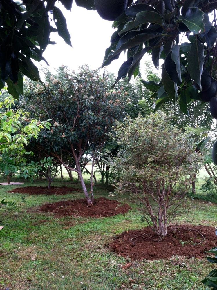 mulching trees
