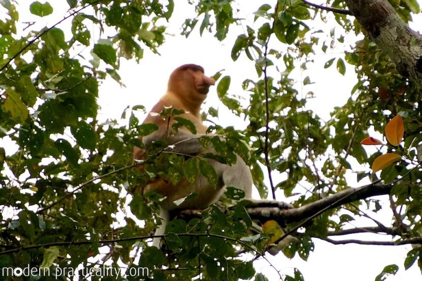 proboscis, monkey