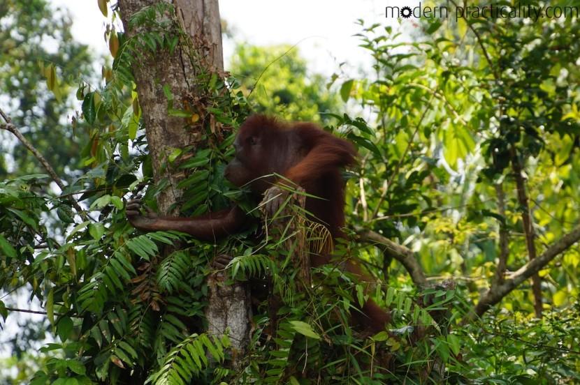 Kaja Island Orangutan