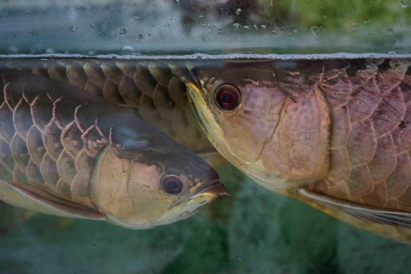 Two arowana pose for a picture.