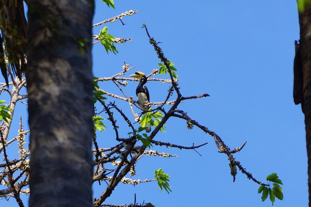 Baluran,Banyuwangi,bird,hornbill,Indonesia,Java,National Park