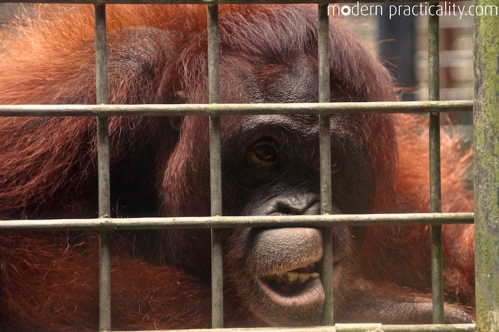 Borneo,cage,Indonesia,orangutan,Palangka Raya