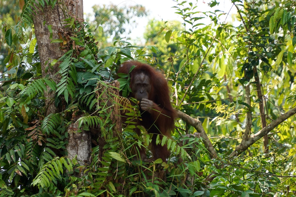 Borneo,Indonesia,island,Kaja,orangutan,Palangka Raya,Rungan