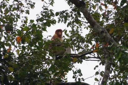 Borneo,Malaysia,Orangutans,Sabah,Sepilok